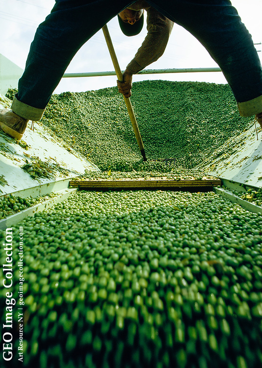 A farm worker rakes fresh peas down a conveyor belt to be processed.