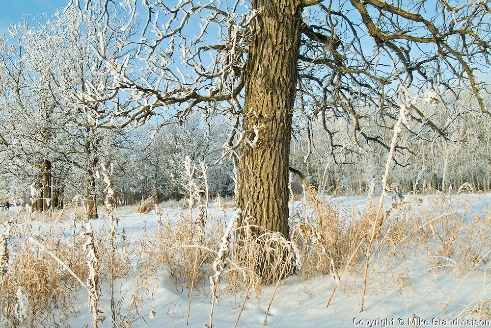 Hoarfrost at edge of Seine River Forest<br /> Winnipeg<br /> Manitoba<br /> Canada