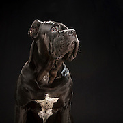Black dogs project photo for sale. Cane Corso