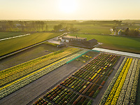 Aerial view of colorful tulip fields at sunset in Lisse, Netherlands