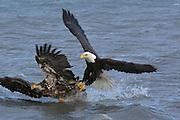 Bald Eagle, Haliaeetus leucocephalus, immature and mature fighting over catch, Kenai Peninsula, Homer Spit, Homer, Alaska. Digital original, #2006_0302 ©Robin Brandt