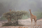 Thought by scientists to be a distinct sub-species, Namibia's desert-adapted giraffe's (Giraffa camelopardalis giraffe) daily movement exceeds that of other giraffes in more temperate climates due to their vital survival strategy that requires them to constantly search for moisture and nutrient-rich seasonal food, Skeleton Coast, Namibia,Africa