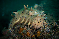Japanese spiky sea cucumber, Apostichopus japonicus. Belongs to the family Stichopodidae, and it is found in shallow temperate waters. Zhifu Island (Chinese: 芝罘島), Shandong Province, China, byt the Bohai Sea, that is the inner part of the Yellow Sea where both the Yellow River and Hai He flow into. High commercial value.<br /><br />Conservation: The Yellow Sea is one of the most threatened marine areas on earth. Land reclamation has destructed more than 60% of tidal wetlands in only 50 years. Rapid coastal development for agriculture, aquaculture and industrial.development are primary drivers of coastal destruction in the region. In addition pollution, harmful algal blooms, invasion of introduced species are having a negative effect. There are 25 intentionally introduced species and 9 unintentionally introduced species in the Yellow Sea marine ecosystem.