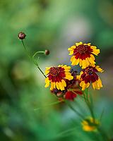 Plains Coreopsis. Image taken with a Leica SL2 camera and Sigma 70 mm f/2.8 macro lens