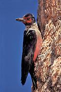 Lewis's Woodpecker - Melanerpes lewis