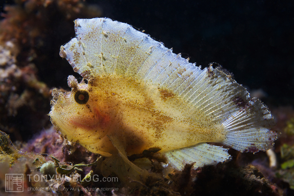 White leaf scorpionfish with backlighting to emphasize how thin and fragile these delicate scorpionfish are