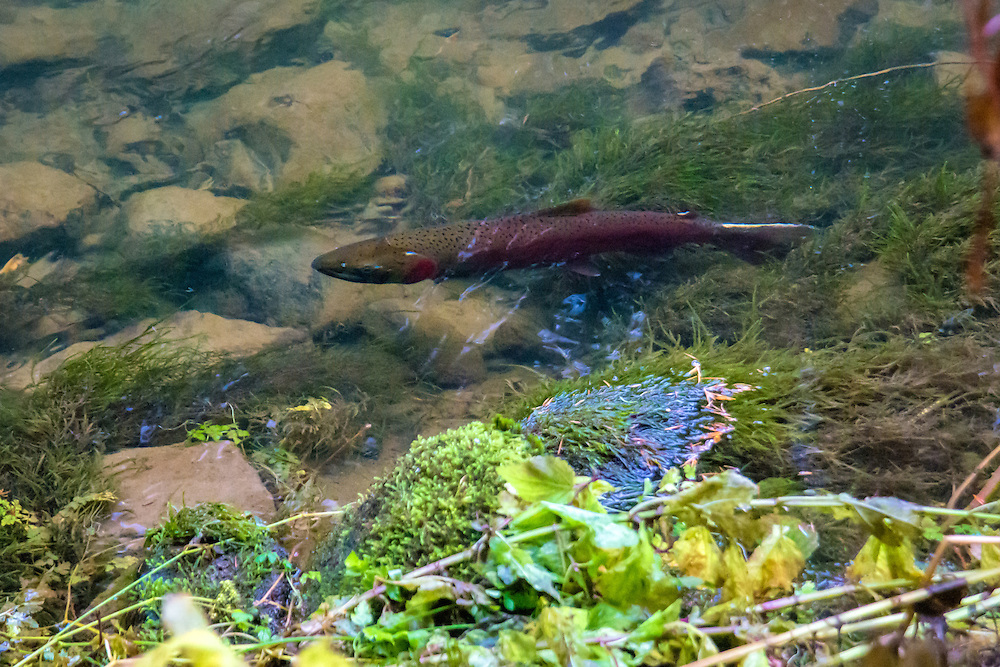 """Male coho salmon (also called a silver salmon) spawning in the Greenwater River in Pierce County, Washington far up in the Cascade Mountains. Coho males in this final part of their life cycle have bright red """"cheeks"""" and have tails that are in relatively good shape compared to their female counterparts who often have pure white tails from losing all their scales and even skin from digging out a nest in the gravel to lay their eggs. This one was taking a rest near the shore behind a fallen tree that was creating a sort of calm in the otherwise fast-moving alpine river."""