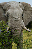 Elephant, Nxai Pan National Park, Botswana.