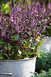 Basil 'African Blue' in a galvanised container