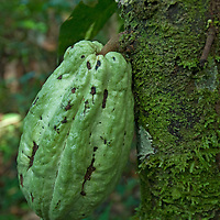 Fruit grows on a tree trunk in Peru's Amazon Jungle.