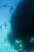 copper sharks or bronze whalers ( Carcharhinus brachyurus ) and tuna fish feed on a bait ball of sardines or pilchards ( Sardinops sagax ) during the annual Sardine Run off the east coast of South Africa at Mboyti, Transkei or Wild Coast ( Indian Ocean )