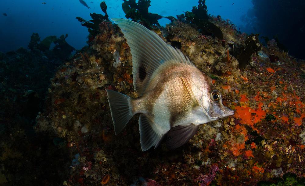 Longfin boarfish, Zaclistius elevatus