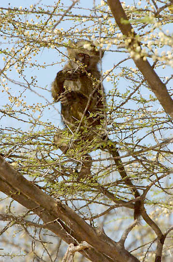 Olive Baboon (Papio anubis) Feeding on flowers of Acacia tree. Samburu Game Reserve. Kenya. Africa.