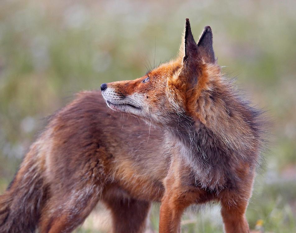 Fox (Vulpes vulpes) Extremadura, Spain. April 2009