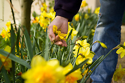 Deadheading daffodils by removing spent flowers so they don't form seed