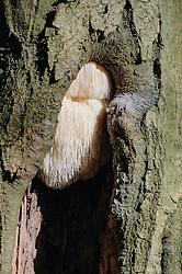 Pruikzwam, Hericium erinaceus