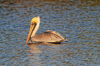 Brown Pelican in the morning sun. Fort De Soto Park in Pinellas County, Florida. Image taken with a Nikon D300 camera and 300 mm f/2.8 telephoto lens with a TC-E 20 teleconverter (ISO 400, 600 mm, f/8, 1/800 sec).