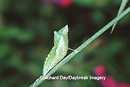 03009-01302 Black Swallowtail (Papilio polyxenes) chrysalis  Marion Co.  IL