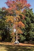 American sweetgum tree, Liquidambar Styraciflua, National arboretum, Westonbirt arboretum, Gloucestershire, England, UK