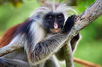 Tanzanie, archipel de Zanzibar, île de Unguja (Zanzibar), singe colobe roux  // Tanzania, Zanzibar island, Unguja, Zanzibar red colobus monkey (Procolobus badius kirkii)