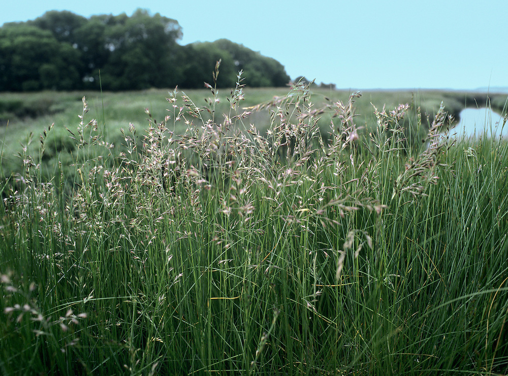 Red Fescue (Festuca rubra) HEIGHT to 50cm. Clump-forming perennial of grassy places. FLOWERS In an inflorescence, the spikelets 7-10mm long and usually reddish (May-July). FRUITS Small, dry nutlets. LEAVES Either narrow, wiry and stiff, or flat (on floweringstems).