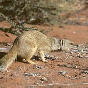 Yellow Mongoose,(Cynictis penicillata)  Feeding on insect found inred sand of Kalahari Desert. Africa.