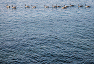 A flock of a dozen Canada Geese swim by in a line.