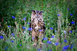 Eagle owl, rescued former pet, now homed at a wildlife rescue centre, Staffordshire, UK.<br /> Photo: Ed Maynard<br /> 07976 239803<br /> www.edmaynard.com