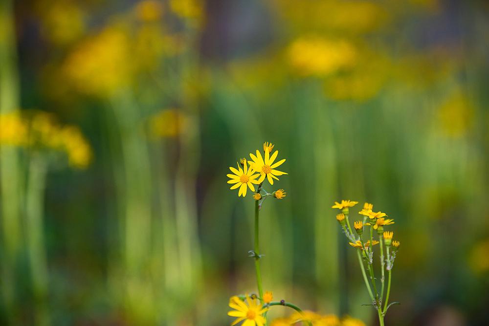 Golden groundsel, a native Texas wildflower, Lady Bird Johnson Wildflower Center, spring 2021, Austin, Texas