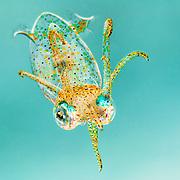 Grass squid (Pickfordiateuthis pulchella) near Eleuthera, Bahamas.