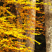 Beech tree branches with yellow leaves