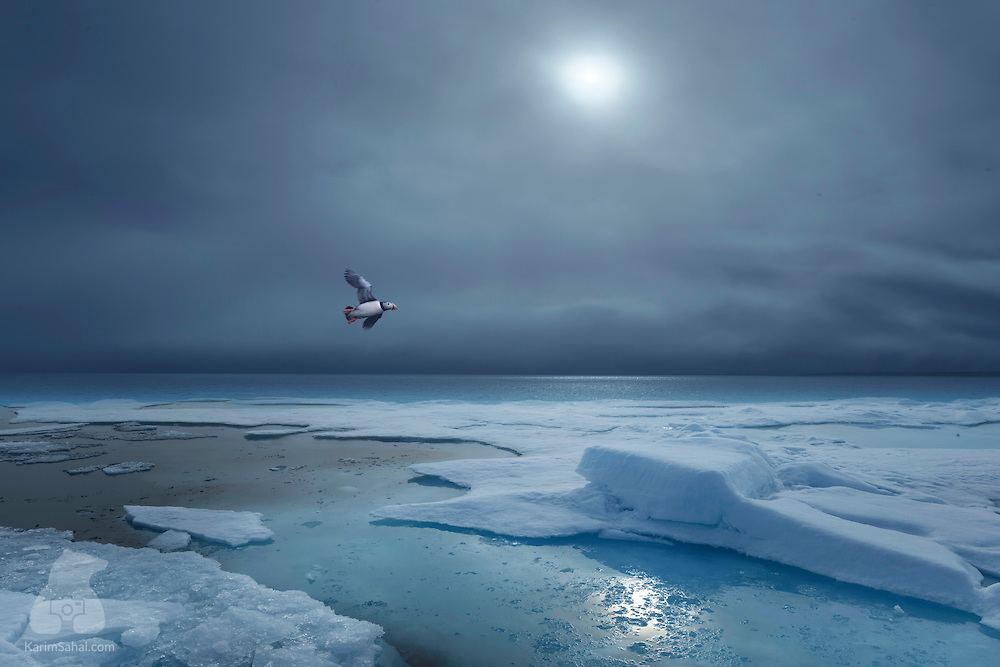 """A puffin glides over the floating ice, in the high arctic archipelago of Svalbard. Puffins can fly as fast as 90 km/h and beat their wings more than 400 times per minute. Except during the breeding season, from late April to mid August, large groups of puffins form """"rafts"""" and float on the Atlantic Ocean, between the east coast of Canada to the north western coast of Europe."""