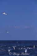 Cape gannets, Sula capensis, dive into a baitball of sardines, Sardinops sagax, during annual Sardine Run, South Africa ( Indian Ocean )