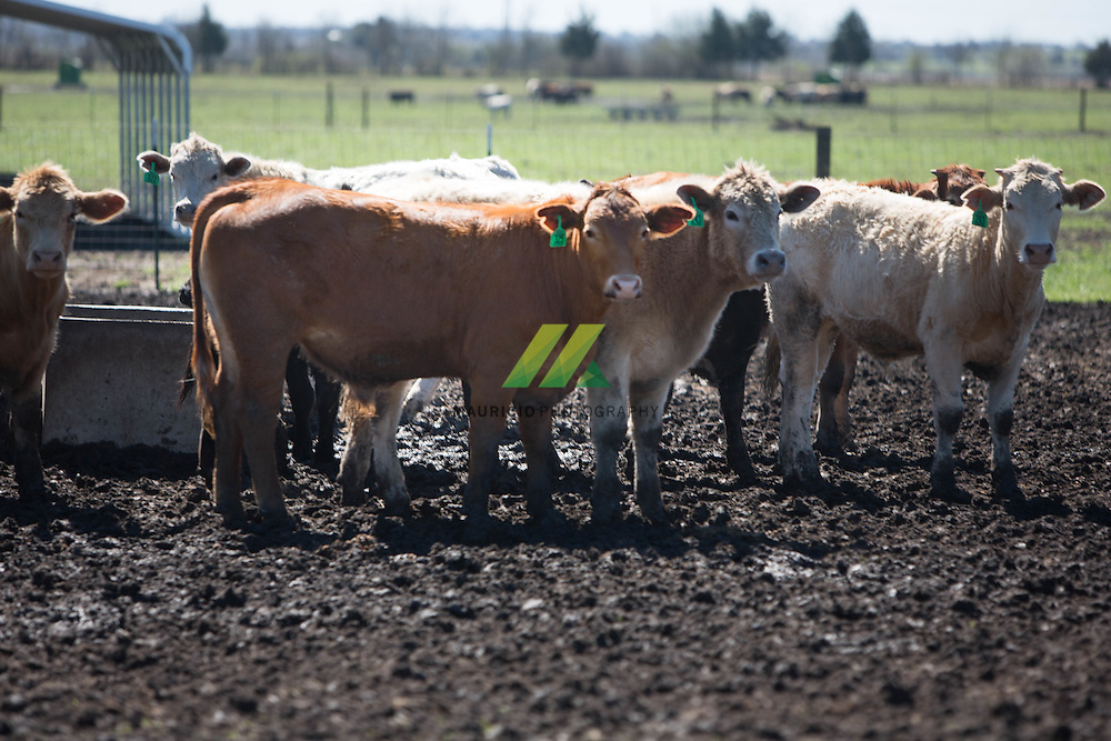 Ranching and cattle operations developed breeds of cattle.