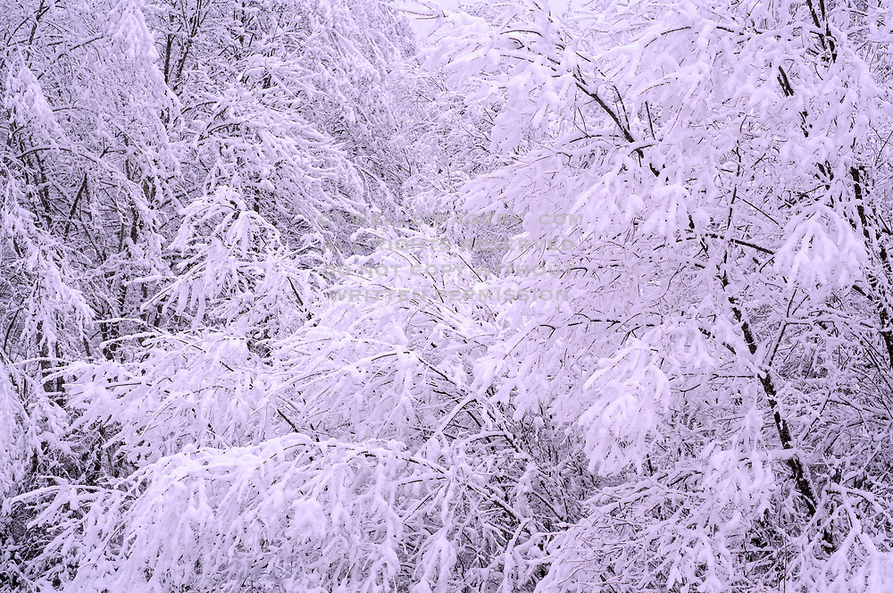 Image of trees after a snowfall in Issaquah, Washington, Pacific Northwest by Randy Wells