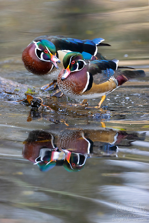 One male wood duck (Aix sponsa), also known as a drake, appears to argue with another while they are both perched on a log in a King County, Washington, lake.