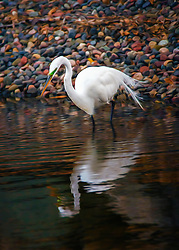 The great egret also known as common egret, large egret or great white heron, is a large, widely distributed egret. Distributed across most of the tropical and warmer temperate regions of the world, in southern Europe it is rather localized.