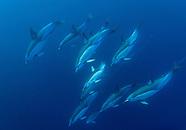 Delphinus delphis (Common dolphin)