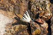 Scarce Swallowtail Butterfly, Iphiclides podalirius, Macin sulucu valley, Ciucurova valley, Dobrogea, Romania, drinking from rock in stream