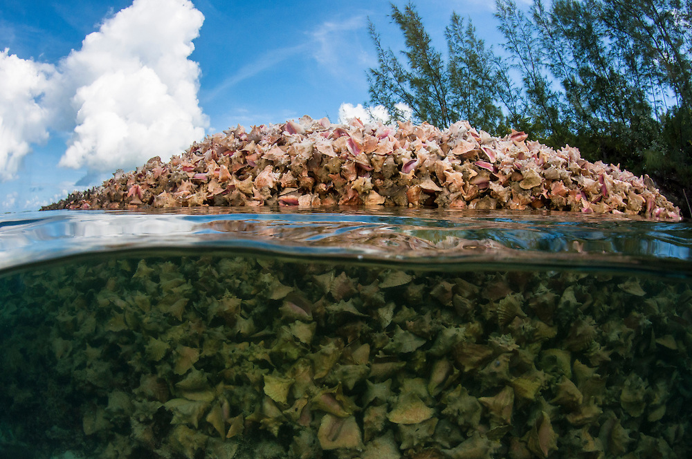 Scientists are predicting a queen conch (Lobatus gigas) fishery collapse is imminent, but how best to protect them is heatedly debated. Conch are the national food of the Bahamas and important culturally, economically and ecologically.