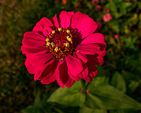 Zinnia. Image taken with a Leica SL2s camera and Laowa 24 mm f/14 macro lens.