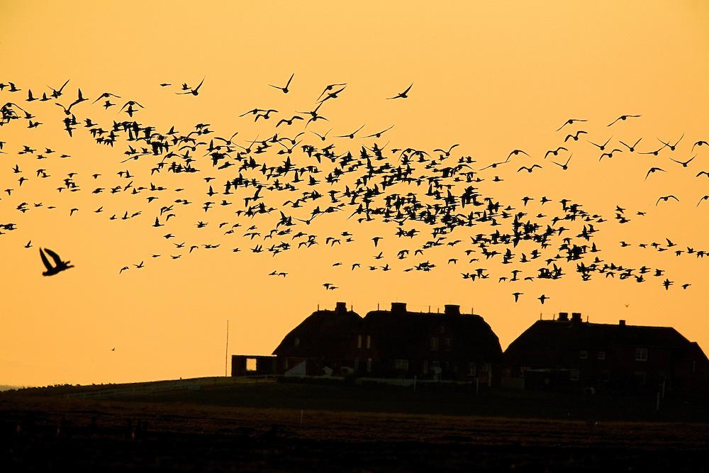 20.04.2009<br /> Brent Goose (Branta bernicla) Örvös lúd<br /> Hallig Hooge, Germany