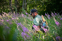 Angler, Dave Aronson wades through a sea of fire weed on the way to the Connecticut River to fly fish.