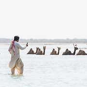 Swimming Camels