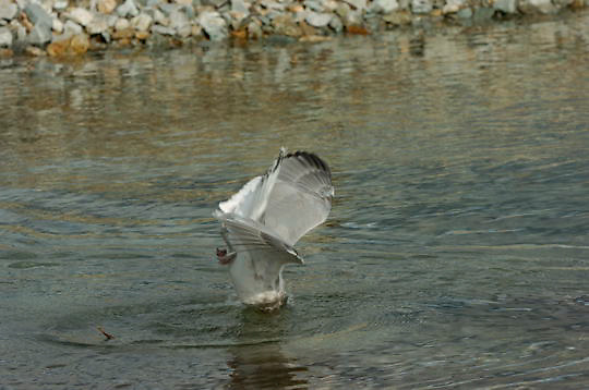 Adolescent Mew Gull (Larus canus) Katmai, Alaska.