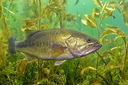 Largemouth Bass, Underwater