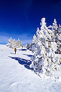 Backcountry skier and snow covered Ponderosa pines near the summit of Mount Pinos, Los Padres National Forest, California