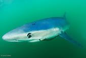 Blue Sharks Montauk NY USA