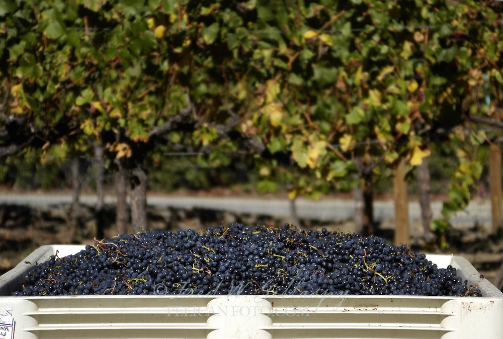 Wine Grape Harvest 0259
