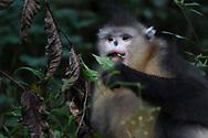Yunnan, or Black Snub-nosed monkey, Rhinopithecus bieti, feeding in a tree at Ta Cheng Nature reserve, Yunnan, China
